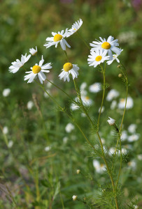 Chamomile for aromatherapy with Vaporizers